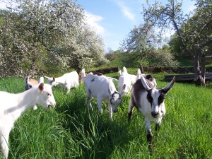 Crystal-Brook-Farm-Grazing-Goats-BCO